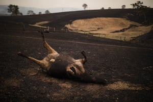A number of Steve Shipton's cows lay dead after being killed in his paddock during a bushfire in Coolagolite, NSW, January 1, 2020.