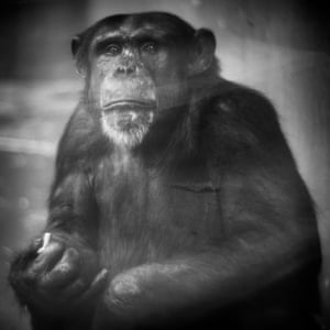 Charly, When he saw Berry with her camera, this chimpanzee at Krefeld Zoo retrieved his precious object from its hiding place and sat for his portrait.