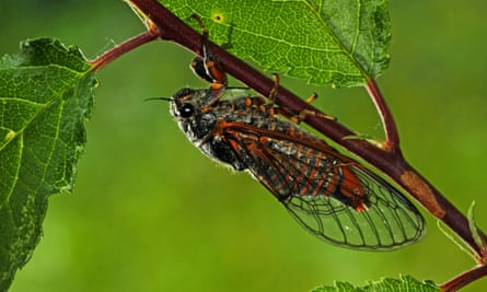 New Forest cicada (Cicadetta montana) in Germany.