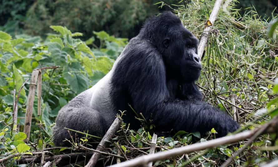 An endangered silverback high mountain gorilla from Sabyinyo family walks inside a forest in the Volcanoes National Park near Kinigi, northwestern Rwanda.