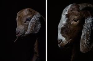 Goats supplied to village women by community breeding schemes.
