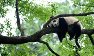"Giant panda rests on tree ""panda kindergarten"", a refuge for baby pandas, inside Bifengxia giant panda base in Ya'an (Reuters)"