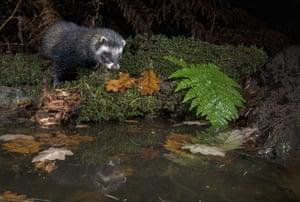 A European polecat visits a woodland pool near Corwen, Wales, UK