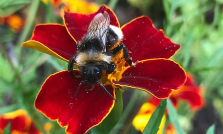 Red alert: a bee gets busy on the tagetes.