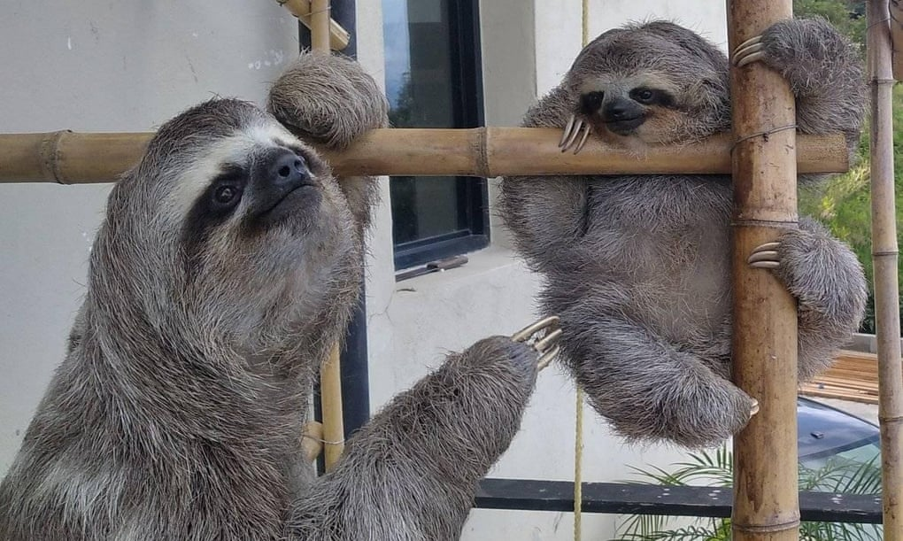 'So enigmatic': injured sloth inspires rescue centre in Venezuela