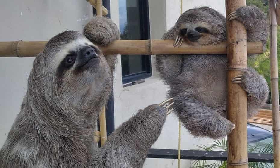 Rescued sloths at the home of Haydee and Juan Carlos Rodriguez, San Antonio de Los Altos, near Caracas, Venezuela