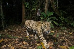 A remote camera captures an adult jaguar in Manu national park, Peru.