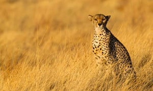Keen on a Kenyan safari? Cheetah at Samburu national park.