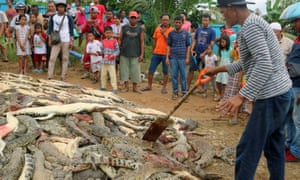 People look at crocodile carcasses in West Papua, Indonesia