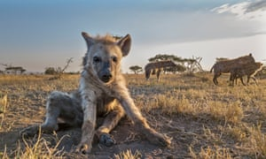 'It is, actually, a jungle out there': a young hyena in BBC One's Serengeti
