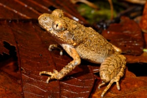 A new frog species from Cambodia and Vietnam, Leptolalax isos, has a name that is about as long as its body. At 3cm, this diminutive amphibian is threatened by logging, agricultural expansion and hydroelectric projects.