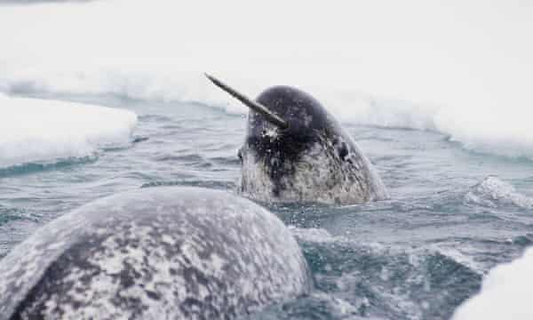A migrating narwhal