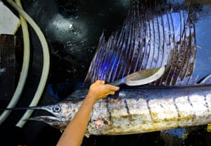 A sailfish is killed after being caught on a longline targeting tuna.
