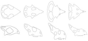 Growth series of Protoceratops (all to the same scale). Left to right, very young juveniles, juveniles, near adult size and an adult. Modified from Hone et al., 2016.