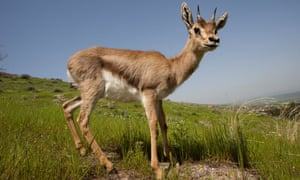 The Palestine mountain gazelle – under threat from loss of habitat, predation and collisions with road traffic.