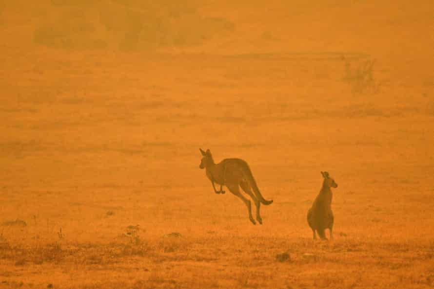 Kangaroos seen through the thick smoke enveloping Cooma in early January 2020.