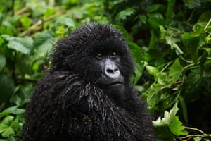 The mountain gorilla population now stands at more than 1,000.