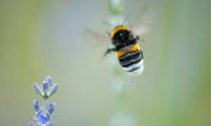 The meaning of a bumblebee   Environment   The Guardian