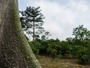 A lonely tree surrounded by cocoa in Marahoué national park, where most of the forest, formerly home to chimpanzees and other wildlife, has been cut down.
