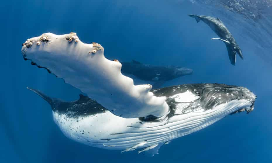 A humpback whale mother with her calf off the coast of Tonga. Whales use song to breed, navigate and communicate with their offspring.