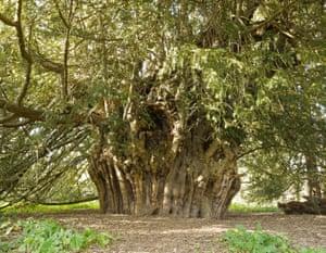 Ankerwycke Yew, Runnymede