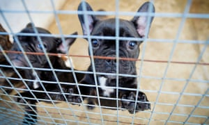 French Bulldogs in kennels.