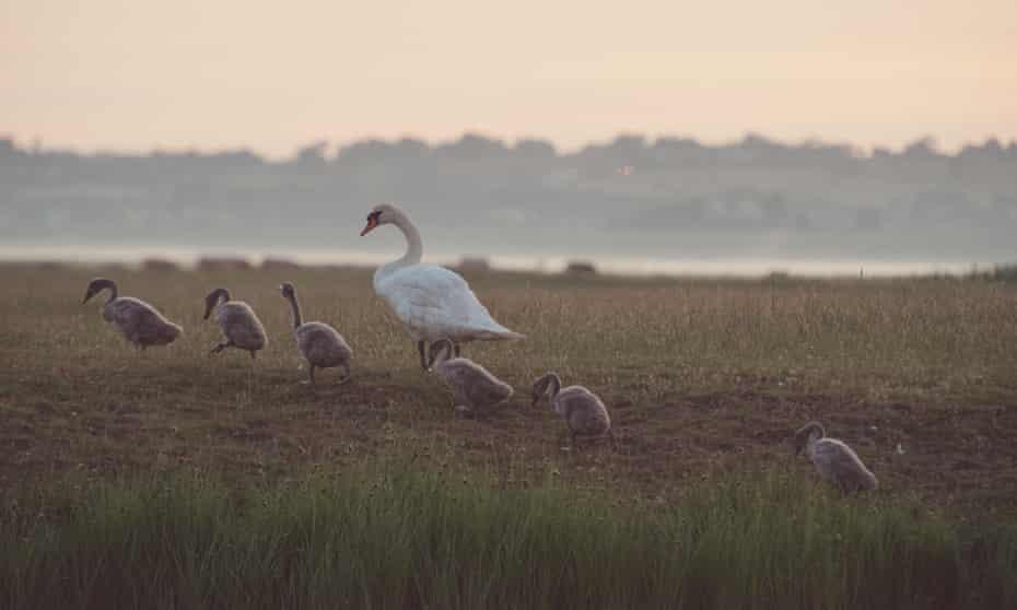 Swan upping: sunset at .