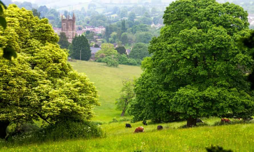 Cows graze in meadow in Batheaston, Bath