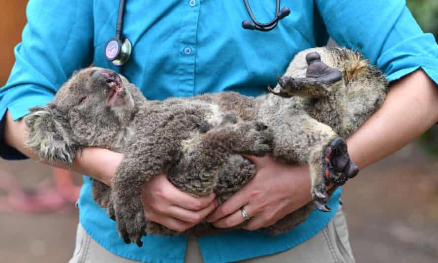 Vets and volunteers treat koalas rescued from the bushfires at Kangaroo Island Wildlife Park