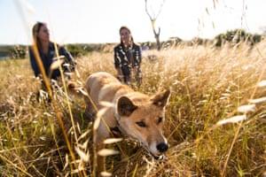 Resident dingo in long grass