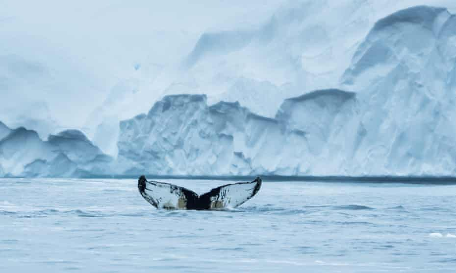 whale tail in arctic greenland