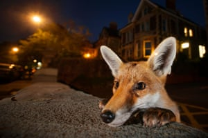 This was the culmination of weeks of scouting for the ideal location – a quiet, well‐lit neighbourhood, where the foxes were used to people (several residents fed them regularly) – and the right fox. For several hours every night, Sam sat in one fox family's territory, gradually gaining their trust until they ignored his presence. One of the cubs was always investigating new things – his weeping left eye the result of a scratch from a cat he got too close to. 'I discovered a wall that he liked to sit on in the early evening,' says Sam. 'He would poke his head over for a quick look before hopping up.' Setting his focus very close to the lens, Sam stood back and waited. He was rewarded when the youngster peeked over and, apart from a flick of his ear, stayed motionless for long enough to create this intimate portrait.