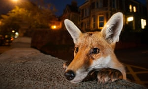 Foxes have been blamed for the attacks in south London.