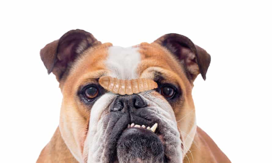 A photograph of a dog with a maggot on its nose
