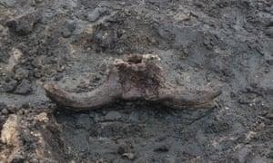 The aurochs skull in situ.
