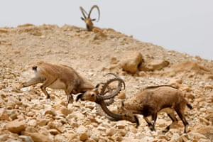 Ibexes fight during the species' oestrus cycle in the Ein Gedi nature reserve along the Dead Sea in Israel