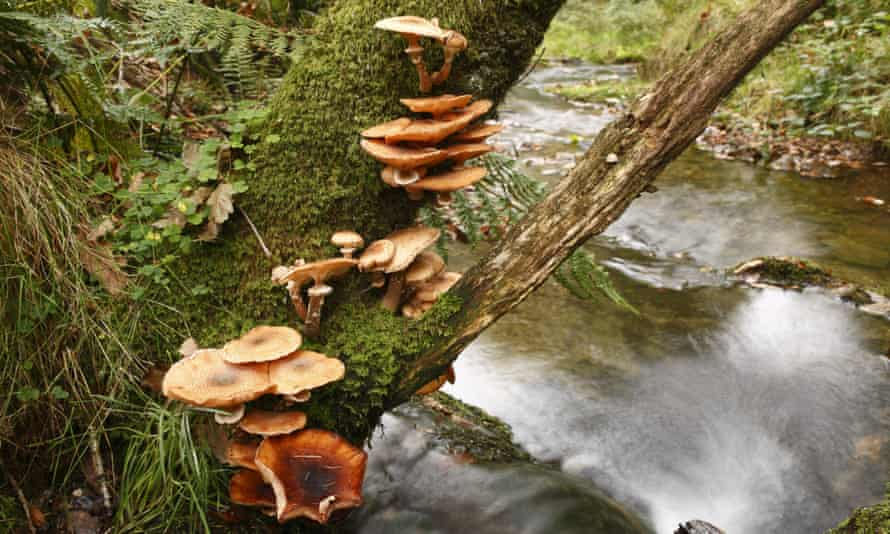 Honey fungus on a tree branch