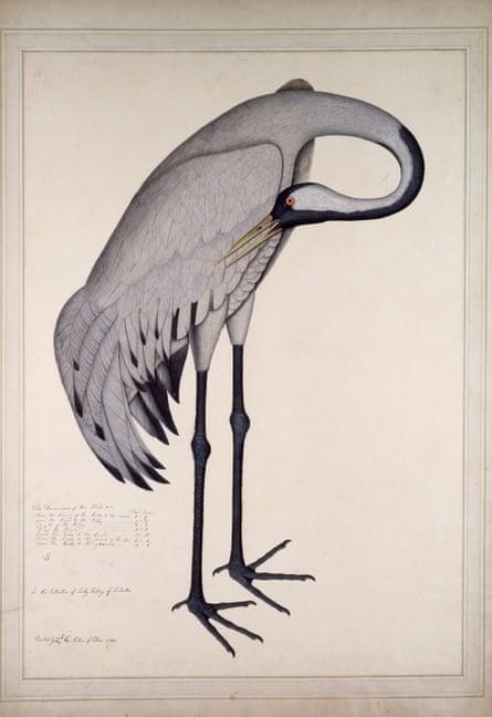 Common Crane by Zayn al-Din