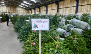 Nordmann firs at the the Tree Barn in Christmas Common, Oxfordshire