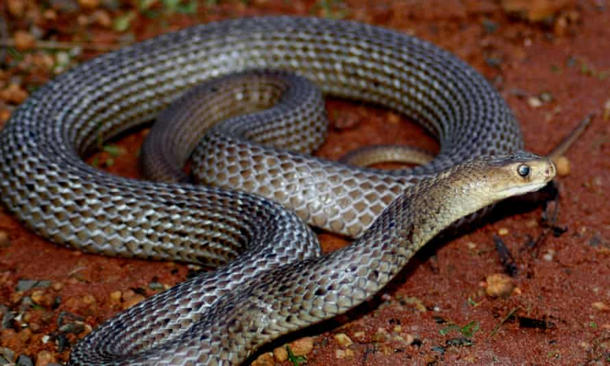 The eastern brown snake is the world's second most venomous land snake.