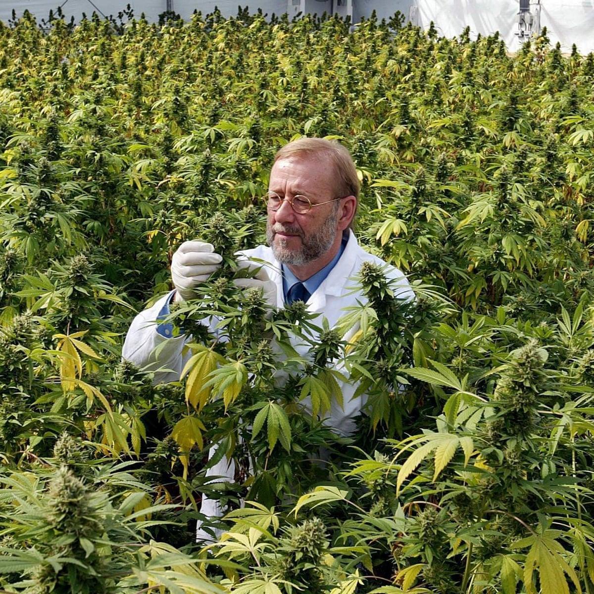 Inside Big Pharma S Fight To Block Recreational Marijuana Guardian Sustainable Business The Guardian