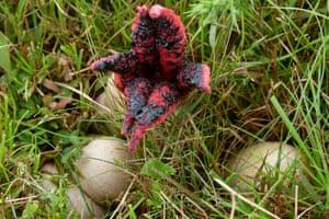 Devil's fingers fungus emerging