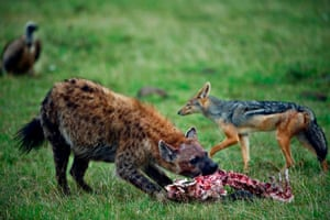 A spotted hyena chews on a carcass as a black-backed jackal and a vulture wait for their own turn at the Ol Kinyei conservancy in Maasai Mara, Kenya