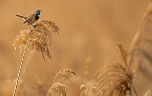 A bluethroat (Luscinia svecica) in the Wagbachniederung nature reservation in Waghausel, Germany