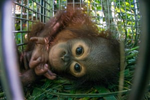 Baby Kebaco arrives at the release location in Tabin wildlife reserve