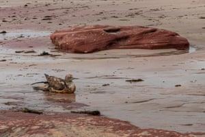 A Red Bluff beach booby on a debris-strewn Kalbarri beach.