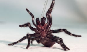 A funnel web spider