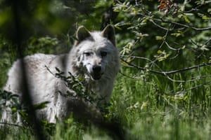 A wolf at the Arcturos sanctuary in Nymfaio on the slopes of Mount Vitsi, Greece
