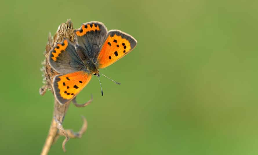 Many common species, such as the small copper butterfly, appear to be extremely scarce this year.
