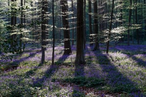 Wild bluebells form a carpet in the Hallerbos, also known as the 'Blue Forest', in Belgium